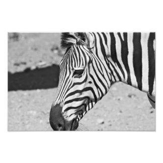 Zebra Close Up Print Photographic Print