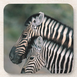 Zebra (Equus burchelli), Etosha National Park, Beverage Coaster