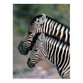 Zebra (Equus burchelli), Etosha National Park, Postcard
