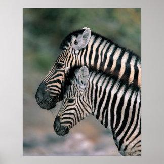 Zebra (Equus burchelli), Etosha National Park, Posters