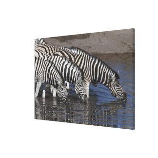 Zebra (equus quagga) drinking at a waterhole in canvas print