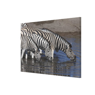 Zebra (equus quagga) drinking at a waterhole in gallery wrapped canvas