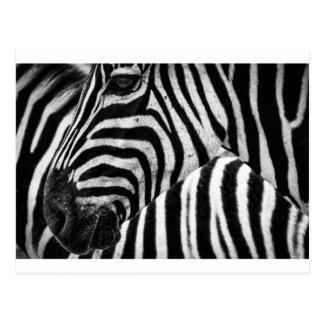 Zebra Face Postcard