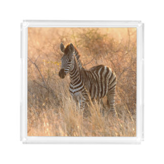 Zebra foal in morning light acrylic tray