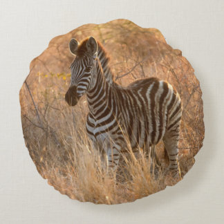 Zebra foal in morning light round cushion