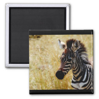 Zebra Foal wildlife magnets (round and square)