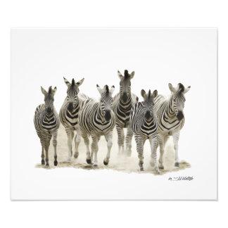 Zebra Harem Photo Enlargement (Small)