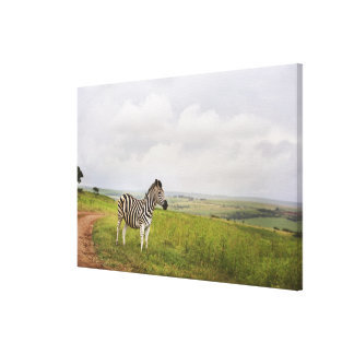 Zebra in the countryside, South Africa Canvas Print
