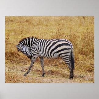 Zebra in the Wild Poster
