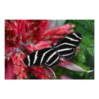 Zebra Longwing Butterfly on Red and Green Wall Art Poster