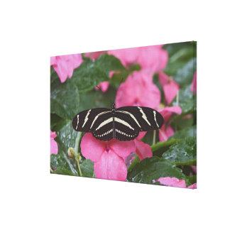 Zebra Longwing, Heliconius charitonius Canvas Print