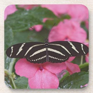 Zebra Longwing, Heliconius charitonius Coaster