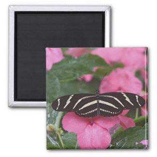 Zebra Longwing, Heliconius charitonius Square Magnet