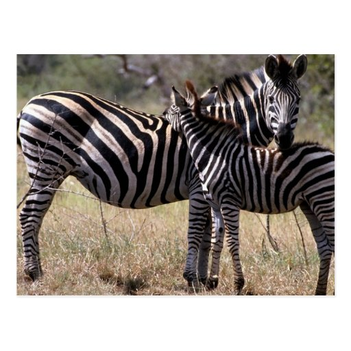 Zebra Mother and Foal Postcard