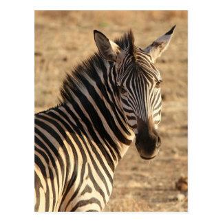Zebra on the Savannah Postcard