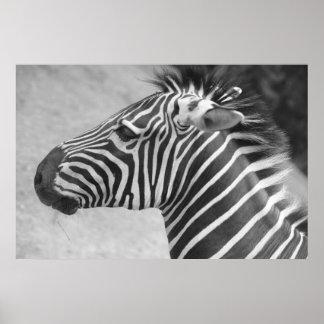 Zebra  Photograph Poster