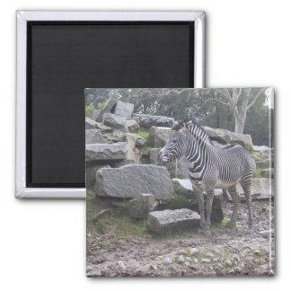 Zebra posing magnet
