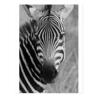 Zebra Safari Cute African Classy Stripes Postcard