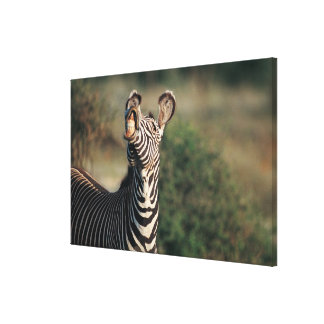 Zebra showing teeth (Equus burchelli) Canvas Print