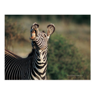 Zebra showing teeth (Equus burchelli) Postcard