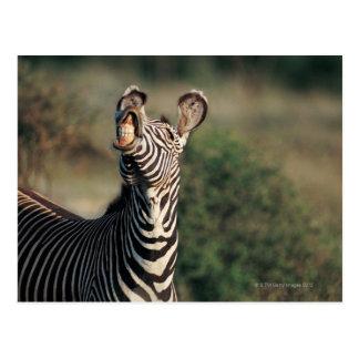 Zebra showing teeth Equus burchelli Postcard