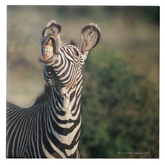 Zebra showing teeth (Equus burchelli) Large Square Tile
