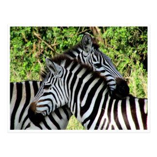 zebra snuggle postcard
