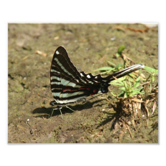 Zebra Swallowtail Photo Print.