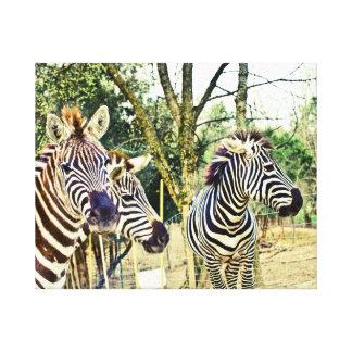 Zebra Trio Canvas Stretched Canvas Prints