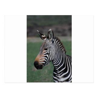 Zebra - WOWCOCO Postcard