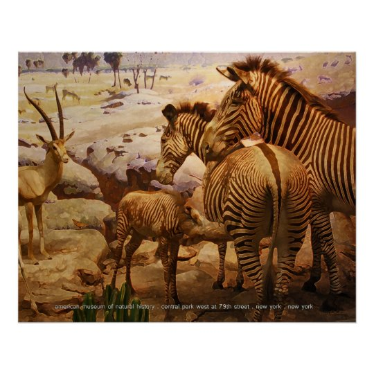 zebras at the american museum of natural history poster
