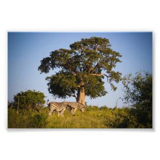 Zebras, Botswana, Africa, Photo Print
