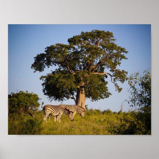 Zebras, Botswana, Africa, Poster