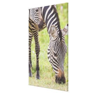 Zebras Eating Canvas Print