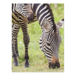 Zebras Eating Postcard