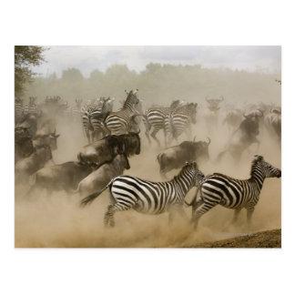 zebras (Equus burchelli) and wildebeest Postcard