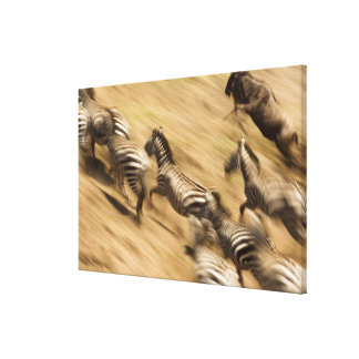 Zebras (Equus quagga) and wildebeest Canvas Print