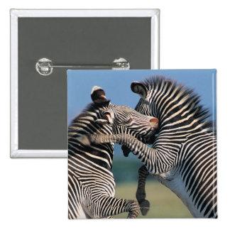 Zebras fighting (Equus burchelli) 15 Cm Square Badge