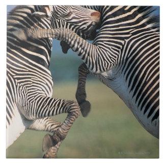 Zebras fighting (Equus burchelli) Large Square Tile
