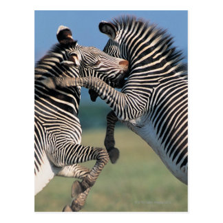Zebras fighting (Equus burchelli) Postcard