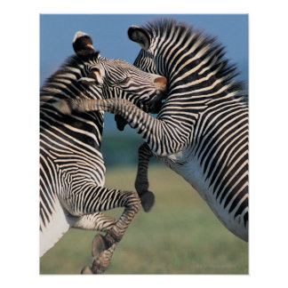 Zebras fighting (Equus burchelli) Poster