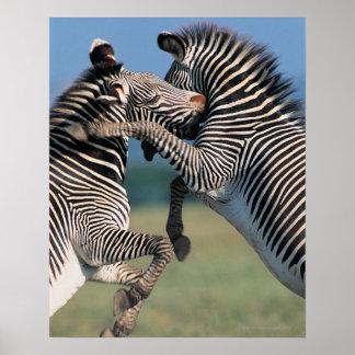 Zebras fighting (Equus burchelli) Poster