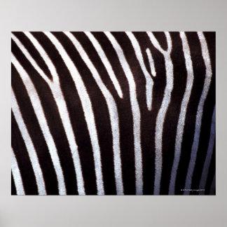 zebra's hide poster