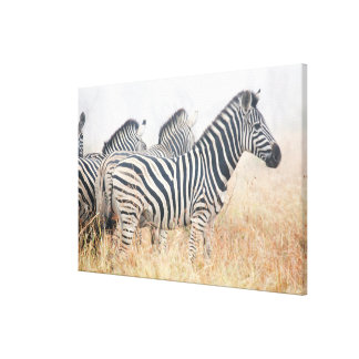 Zebras in early morning dust, Kruger National 2 Canvas Print