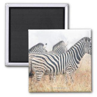 Zebras in early morning dust, Kruger National 2 Magnet