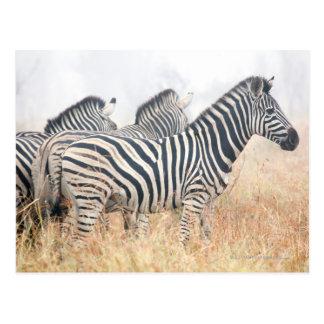 Zebras in early morning dust Kruger National 2 Postcard