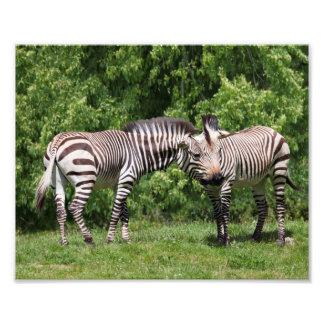 Zebras in Love Print Photo