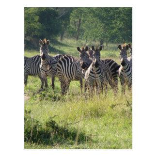 Zebras in Uganda Postcard