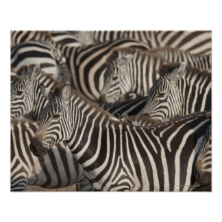 Zebras Kenya Africa Posters