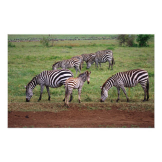 Zebras on the Serengetti Plains, Equus quagga, Photographic Print